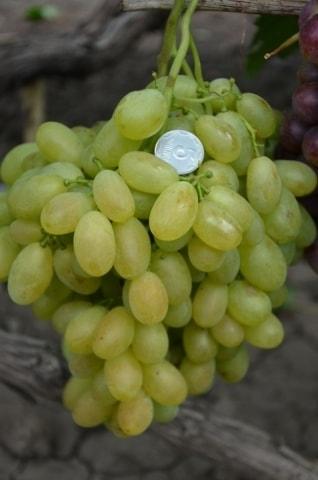 Виноград Монблан