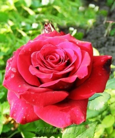 Роза чайно-гибридная Софи Лорен