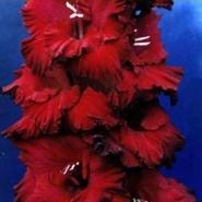 Гладиолус Ностальгия (луковица)