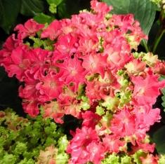 Гортензия крупнолистная Curly Sparkle Hot Pink