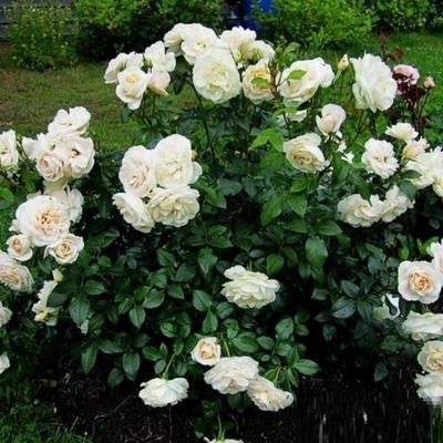 Роза флорибунда Лайонз роуз