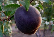 Чёрный абрикос Чёрный бархат