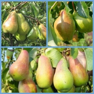 Дерево сад груша (Изюминка Крыма, Талгарская красавица, Николай Крюгер)