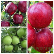 Дерево сад яблоня (Моди+Чемпион+Мутсу)