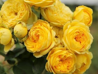 Роза бордюрная Каталина