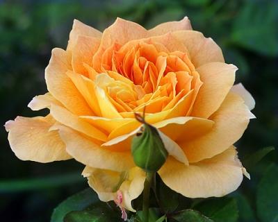 Роза чайно-гибридная Жан Жионо