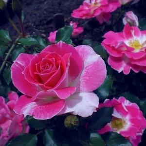 Роза флорибунда Регенсберг