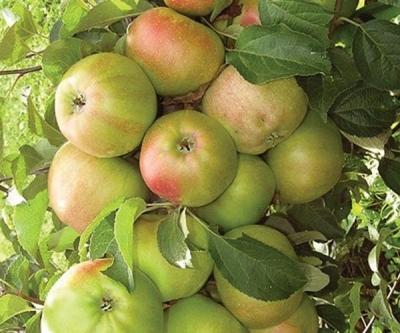 Яблоня колоновидная Гирлянда