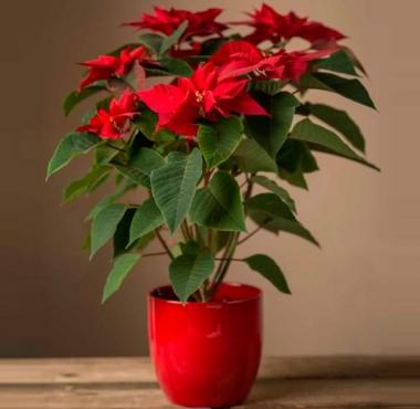 Пуансетия красная (Рождественская звезда)