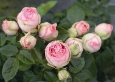 Роза пионовидная Чарминг Пиано