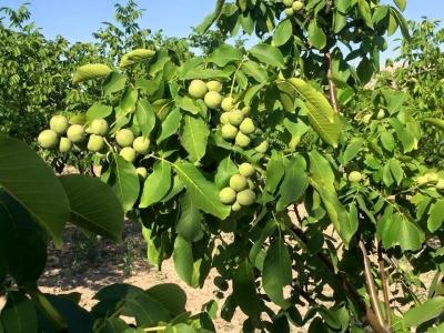 Грецкий орех Костюженский