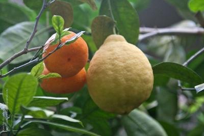 Дерево-сад Лимон+Мандарин