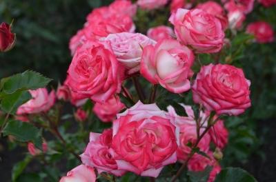 Роза миниатюрная - спрей Сафина