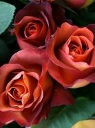 Роза чайно-гибридная Кофе-брейк