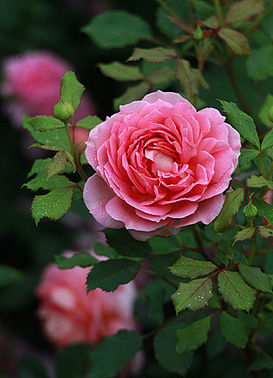 Роза английская Чарльз Ренне Макинтош/Charles Rennie Mackintosh