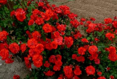 Роза бордюрная Сачмо