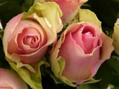 Роза чайно - гибридная  Ла Белль