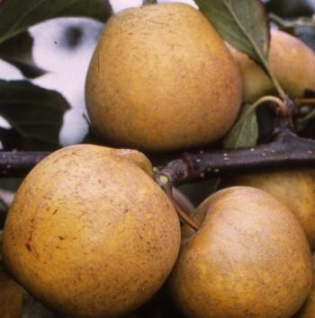 Яблоня Питмастон