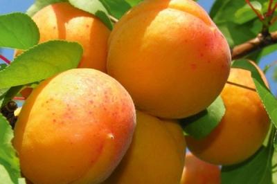 Дерево-сад абрикос Черный принц – Голд Рич – Джумбо Кот