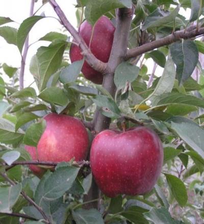 Дерево-сад Яблоня 3 сорта, 2-х летняя (Мутсу+Флорина+Семеренко)