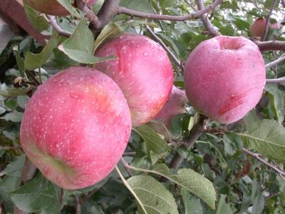 Дерево-сад Яблоня 4 сорта, 3-х летняя