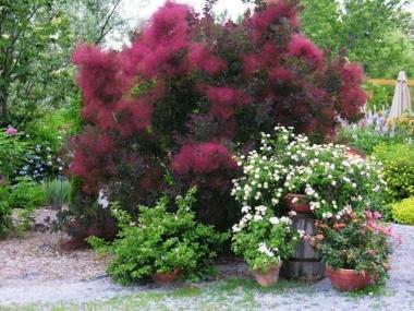 Скумпия кожевенная Пурпуреус