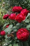 Роза флорибунда 4-х ветров