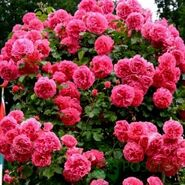 Роза почвопокровная Четыре Сезона