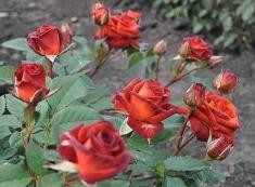 Роза спрей Браун Шугар