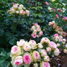 Роза бордюрная Мими Эдем