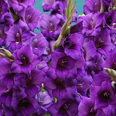 Гладиолус Пурпур Флора (луковица)