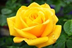 Роза чайно-гибридная Платинум