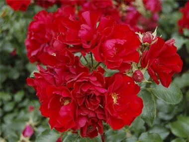Роза шраб Центро роуз