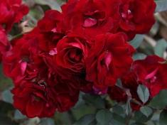 Роза английская Шамплейн