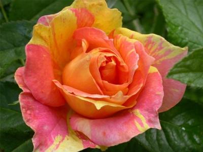 Роза флорибунда Поль Сезанн