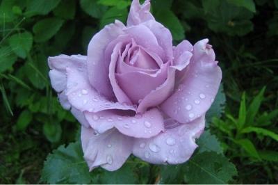 Роза чайно-гибридная Мадам Экзюпери