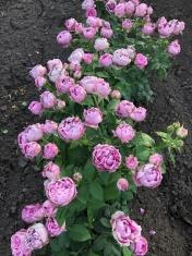 Роза пионовидная спрей Мисти баблс