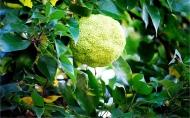 Маклюра (Адамово яблоко)