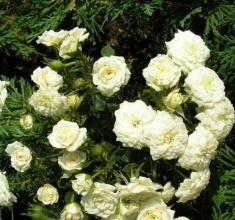 Роза миниатюрная Мари Бридж