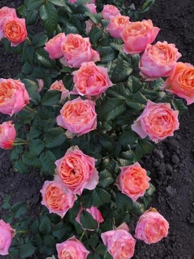 Роза пионовидная Вувузело