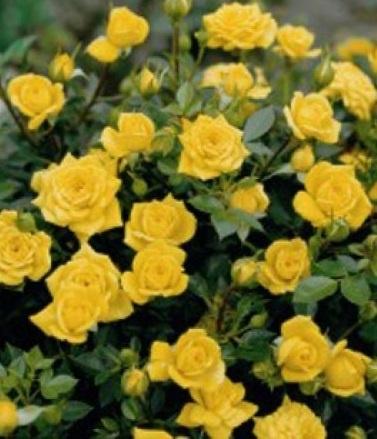 Роза миниатюрная Апполо