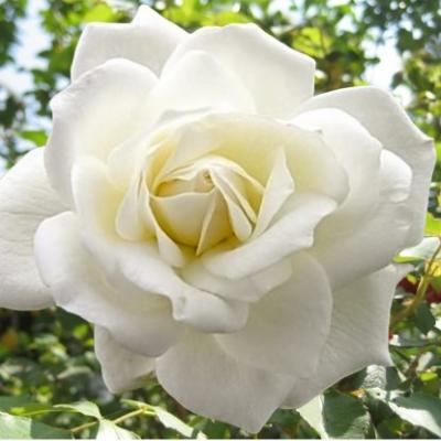 Роза чайно-гибридная Тенека