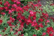 Роза почвопокровная Ред каскад