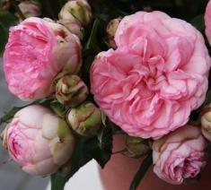 Роза пионовидная Брайдал Пиано