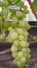 Виноград Нежность