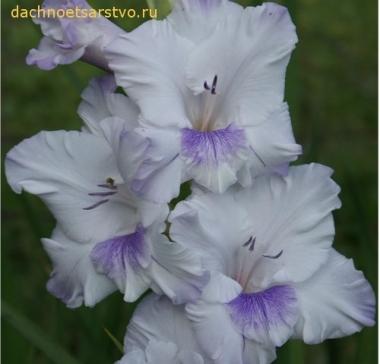 Гладиолус Голубая бабочка