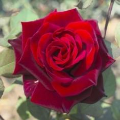 Роза чайно-гибридная Гран при