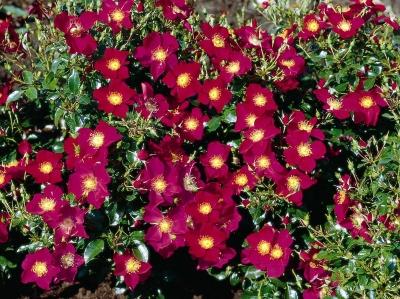Роза почвопокровная Перпл Хэйз