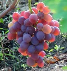 Виноград Аарон