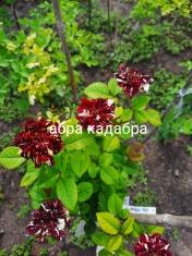 Роза штамбовая Абракадабра